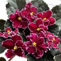 Кімнатні квіти(Калатея, фіалки)